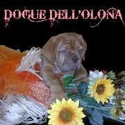 I Dogue dell'olona di Di Somma  Ida logo